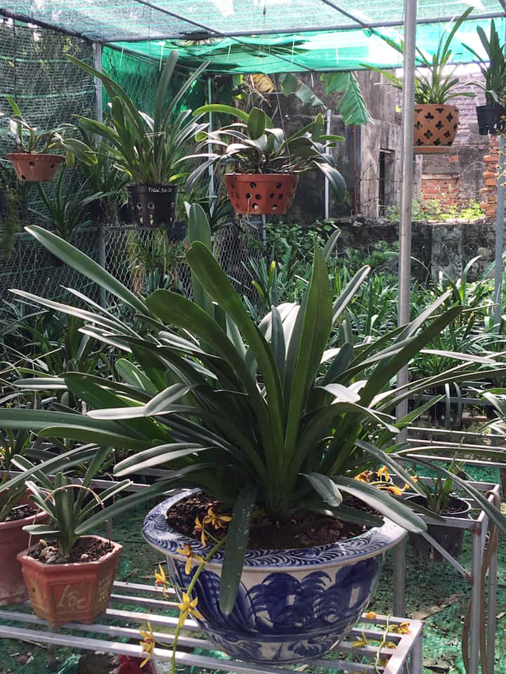 Nguồn gốc cây Hoa lan Kiếm Vị Hoàng
