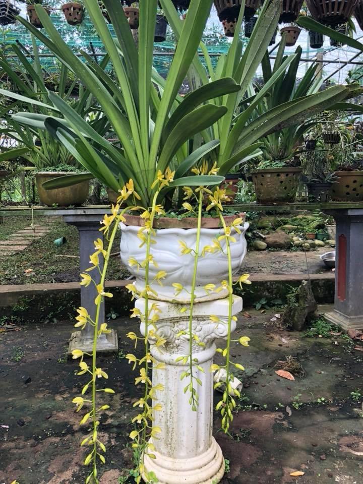 Giới thiệu nguồn gốc cây lan Kiếm Xanh Huế