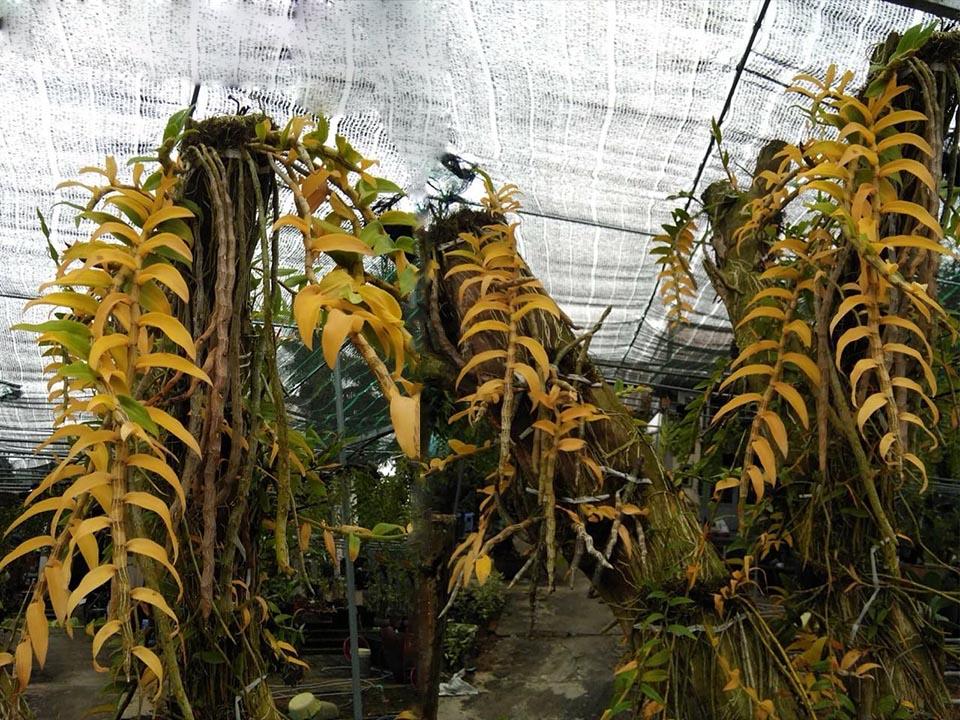 phong lan bị ngộ độc