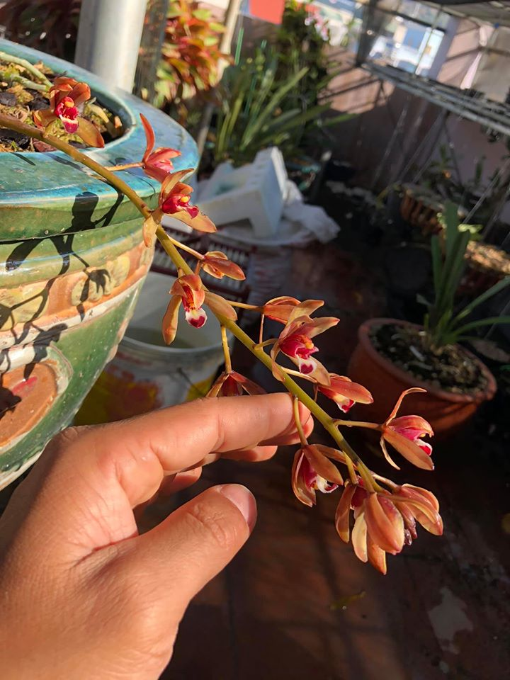 mặt hoa kiếm đỏ hương sơn