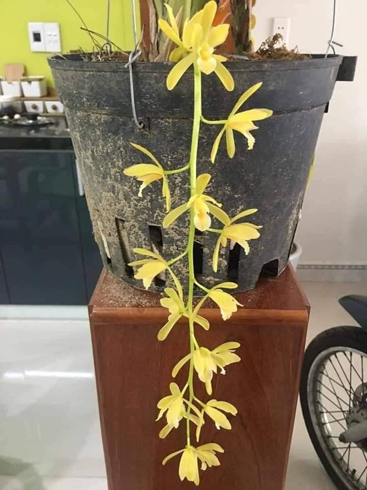 mặt hoa kiếm vàng quảng nam