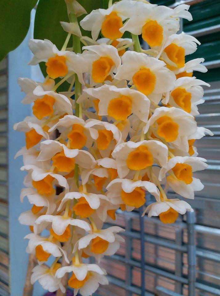 hoa kiều vàng