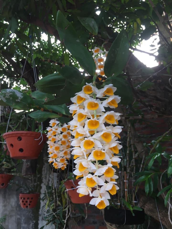 hoa phong lan kiều vàng