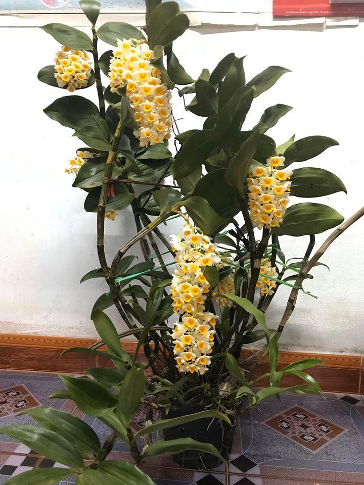 lan kiều vàng ra hoa tháng mấy