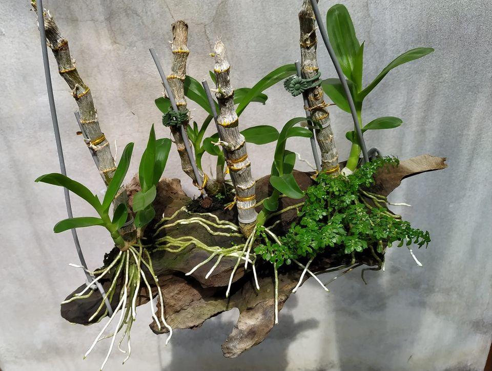 ghép lan trầm vào gỗ lũa