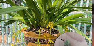 Cách kích mầm lan kiếm từ cuống hoa