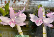 Hồng Nhật Hạ
