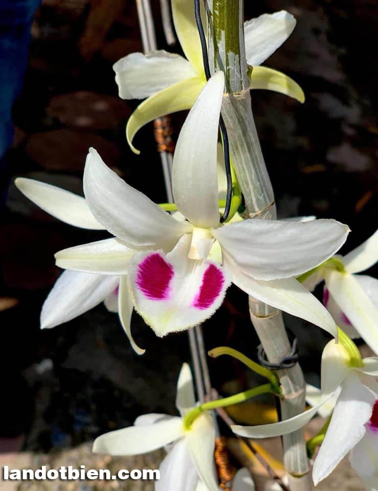 mặt hoa lan 5ct bạch trà