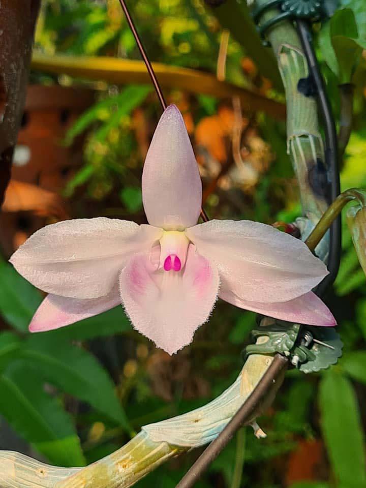 mặt hoa lan hồng minh châu
